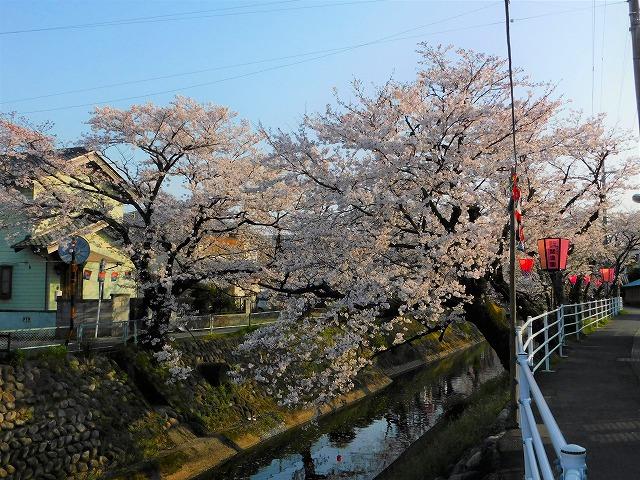吉田川の桜とぼんぼり