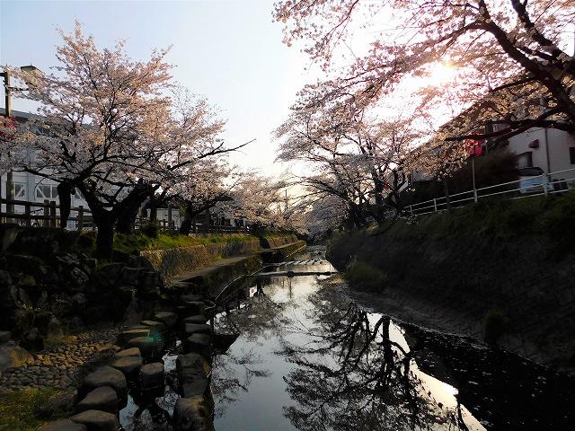 吉田川の桜-2