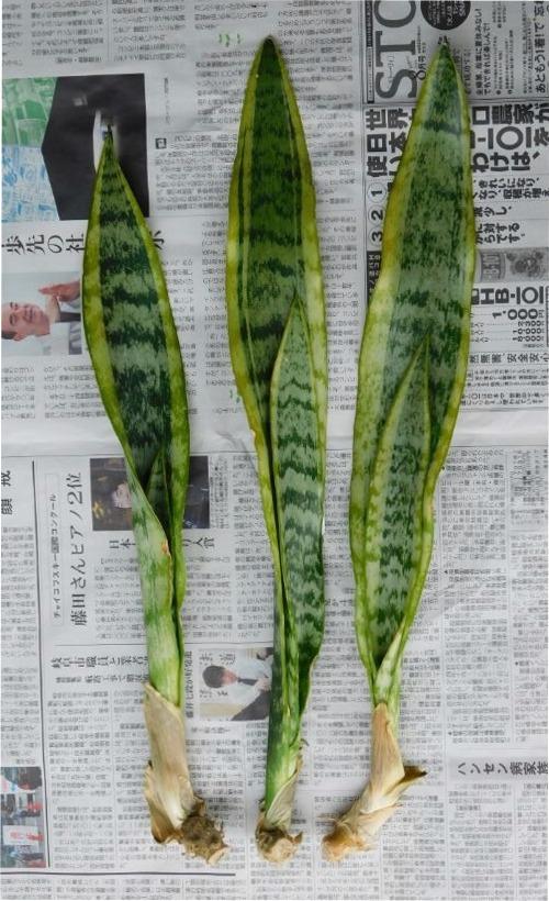 サンスベリア・ローレンティーの裸苗 3本
